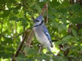 Thumbnail Blue Jay