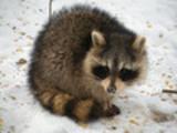 Thumbnail Raccoon